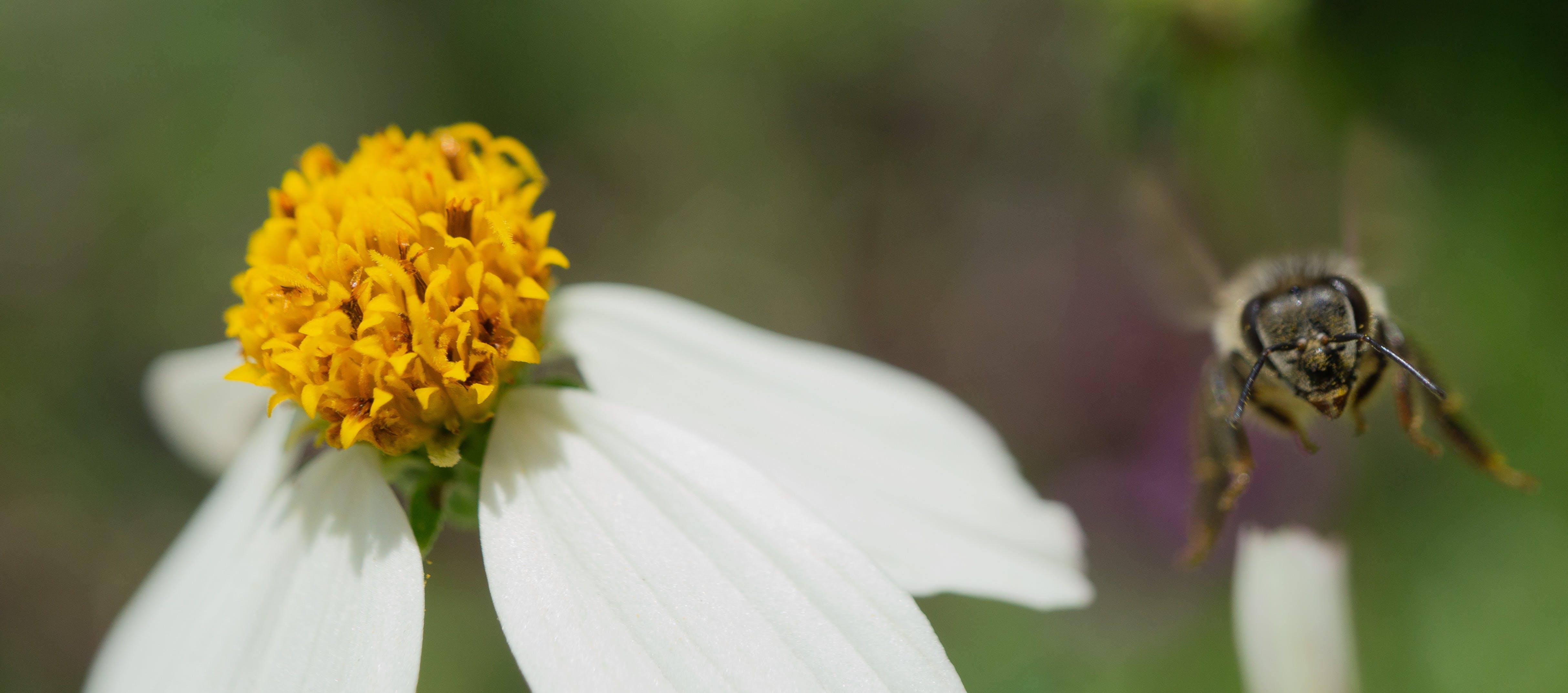 Free stock photo of bee, macro photography