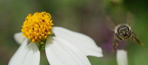 微距攝影, 蜜蜂 的 免費圖庫相片