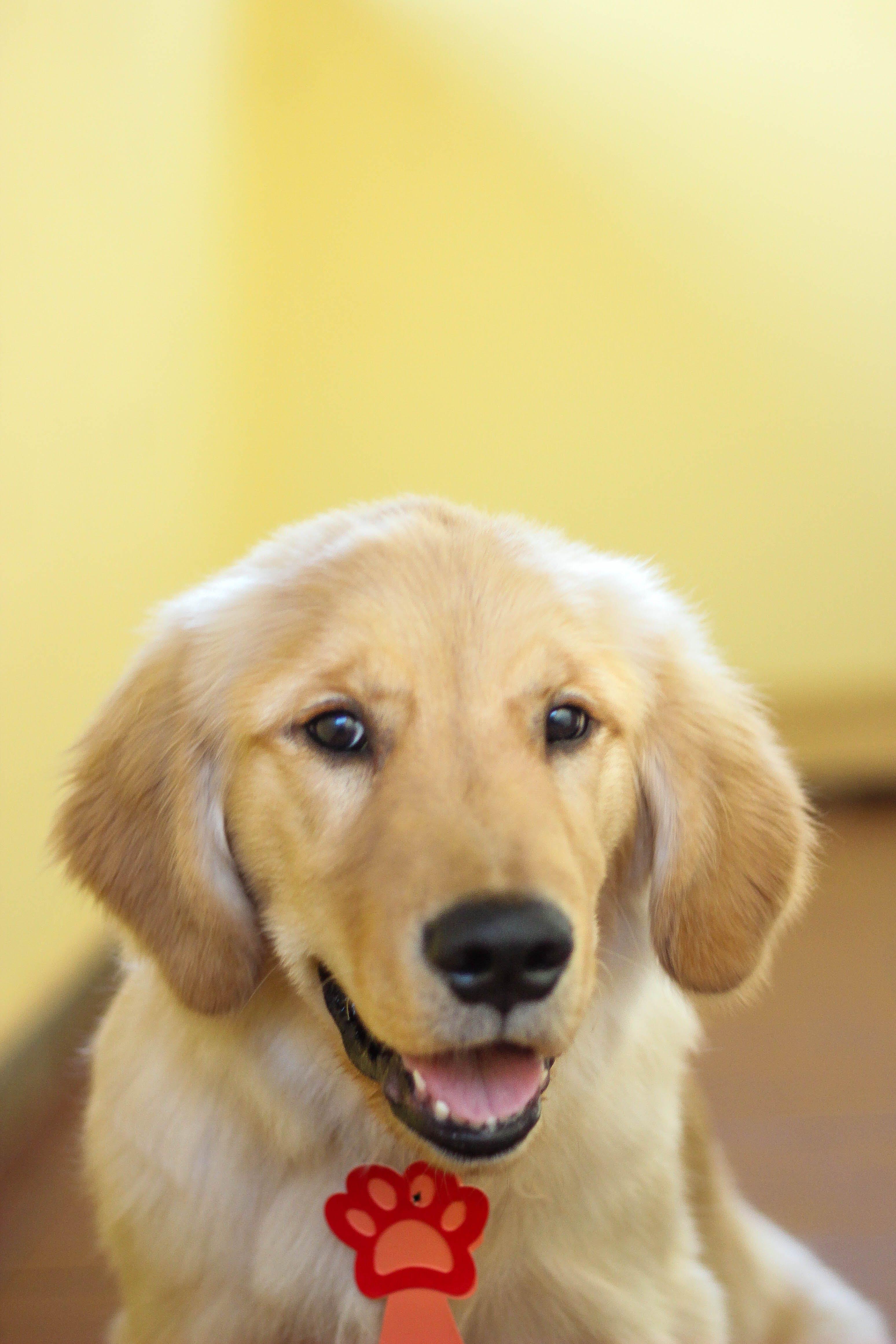 Free stock photo of animal, dog, golden retriever