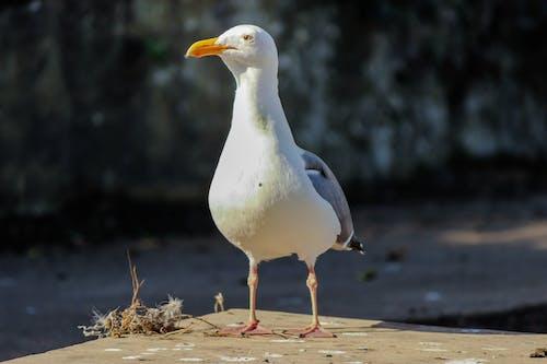 Fotobanka sbezplatnými fotkami na tému alkatraz, morský vták