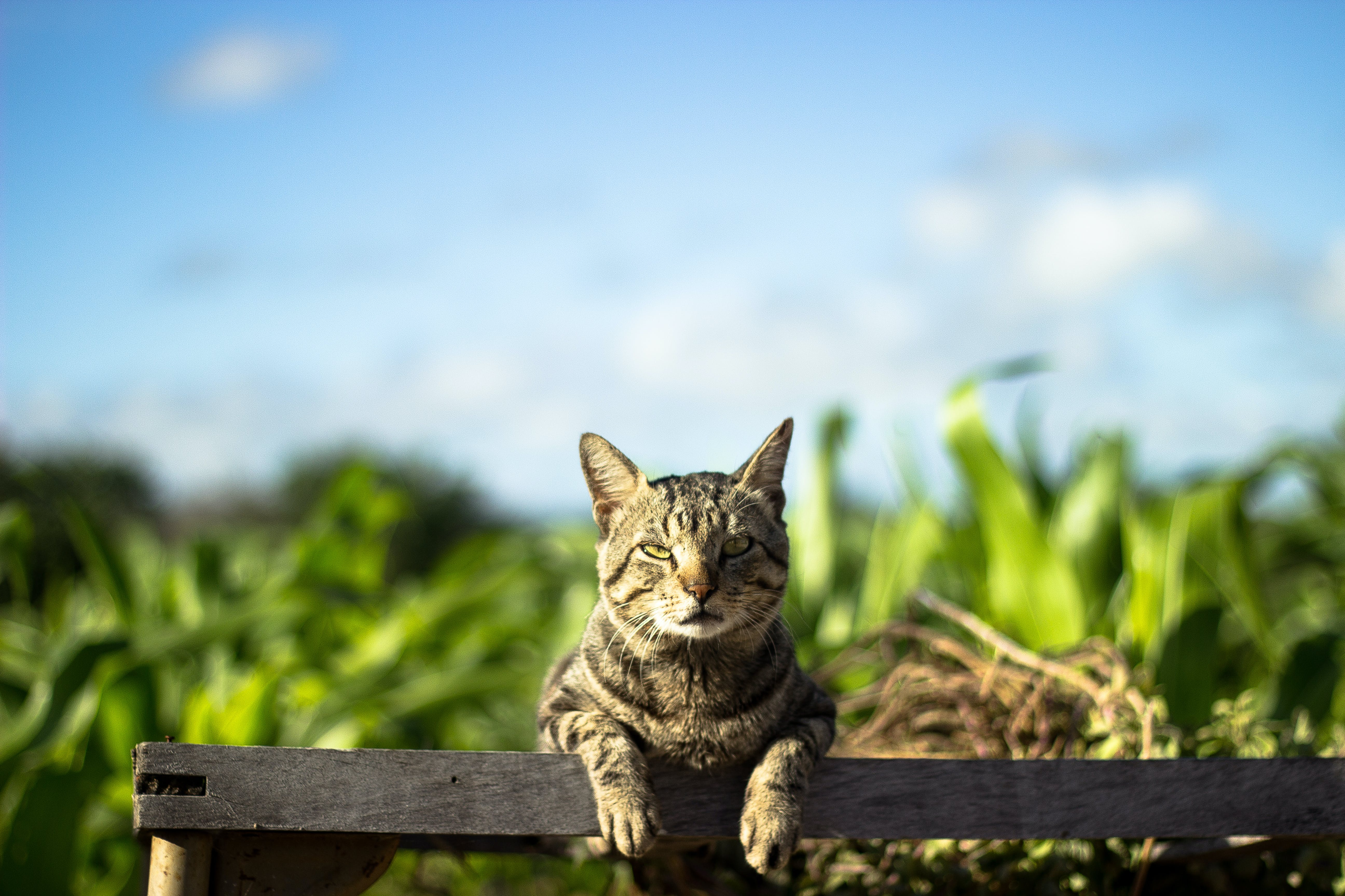 Photo of Grey Tabby Cat Leaning on Fence