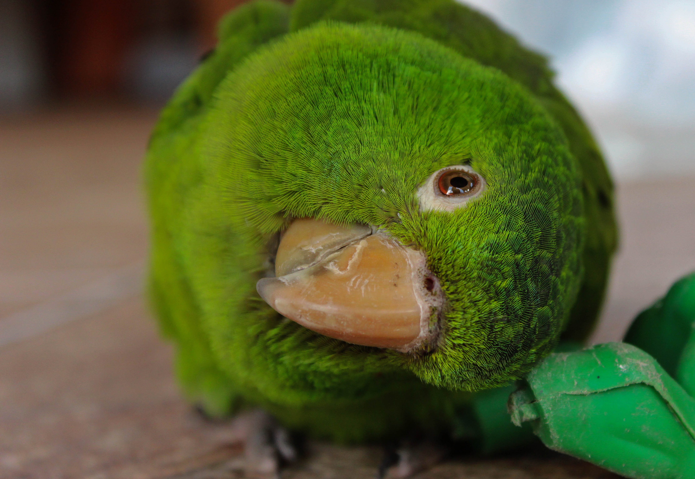 Free stock photo of bird, green parrot, nature