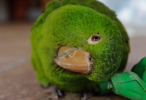 Fotobanka sbezplatnými fotkami na tému príroda, zelený papagáj