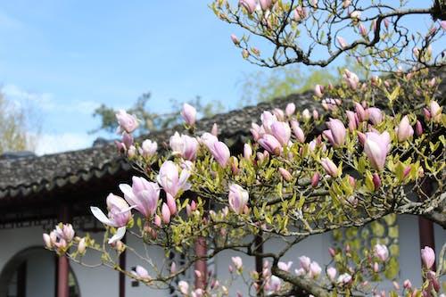 Бесплатное стоковое фото с китайский сад, красивые цветы, природа, садовый цветок