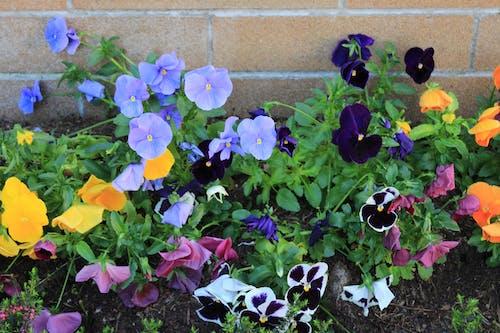 Бесплатное стоковое фото с красивые цветы, природа, сад цветов, синий цветок