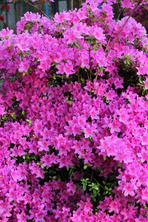 Бесплатное стоковое фото с природа, розовые цветы, розовый фон, сад цветов