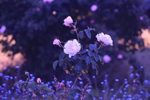 Бесплатное стоковое фото с красивые цветы, роза, росаль, сад