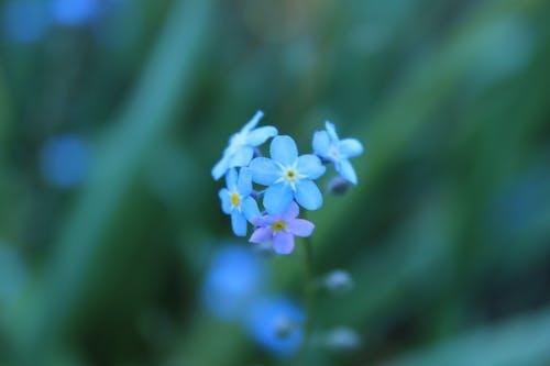 Бесплатное стоковое фото с макросъемка, природа, сад цветов, синий цветок