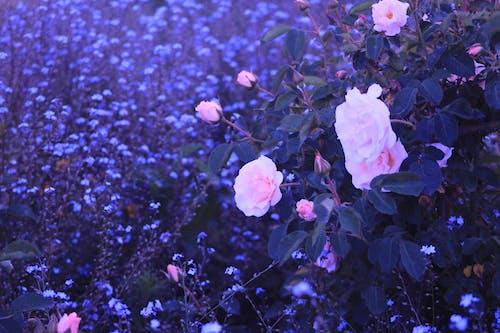 Бесплатное стоковое фото с красивые цветы, природа, росас, сад цветов