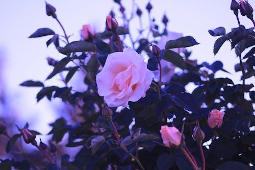 Бесплатное стоковое фото с белая роза, красивые цветы, роза, Розовая роза