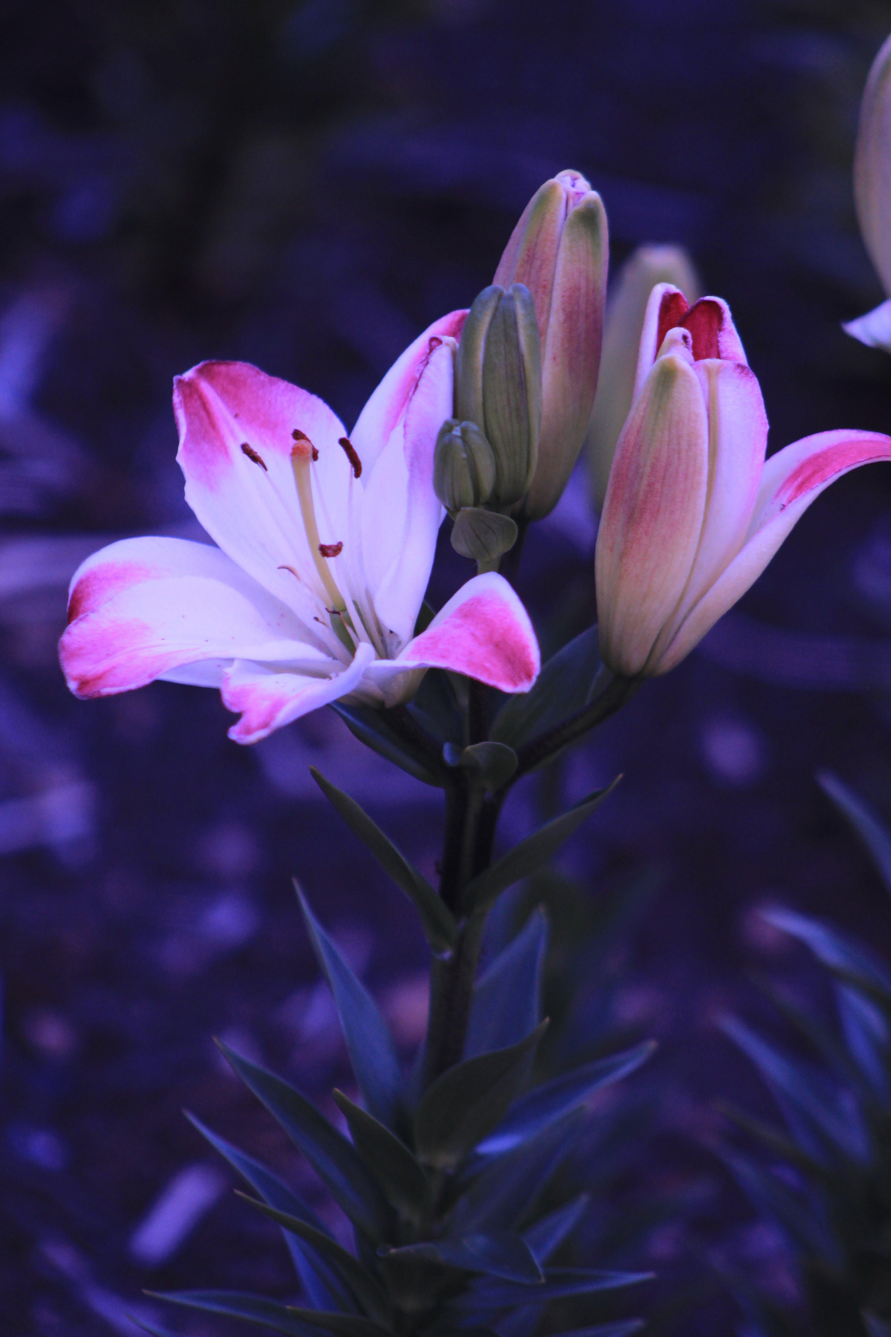 คลังภาพถ่ายฟรี ของ กลีบดอก, กล้วยไม้, ดอกไม้, พฤกษา