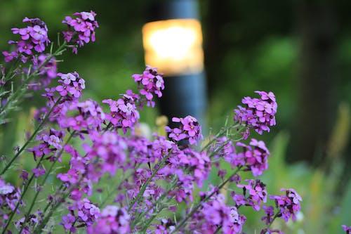Бесплатное стоковое фото с ванкувер, красивые цветы, природа, пурпурный
