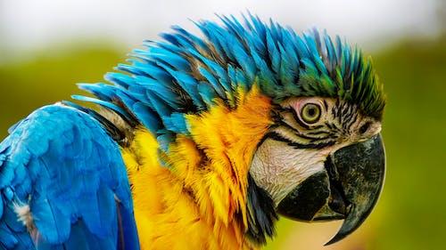 Ilmainen kuvapankkikuva tunnisteilla arapapukaija, eksoottinen, eläin, höyhen