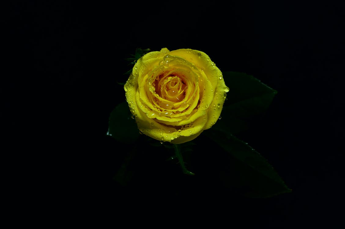 Close-up Photo of Yellow Rose in Bloom