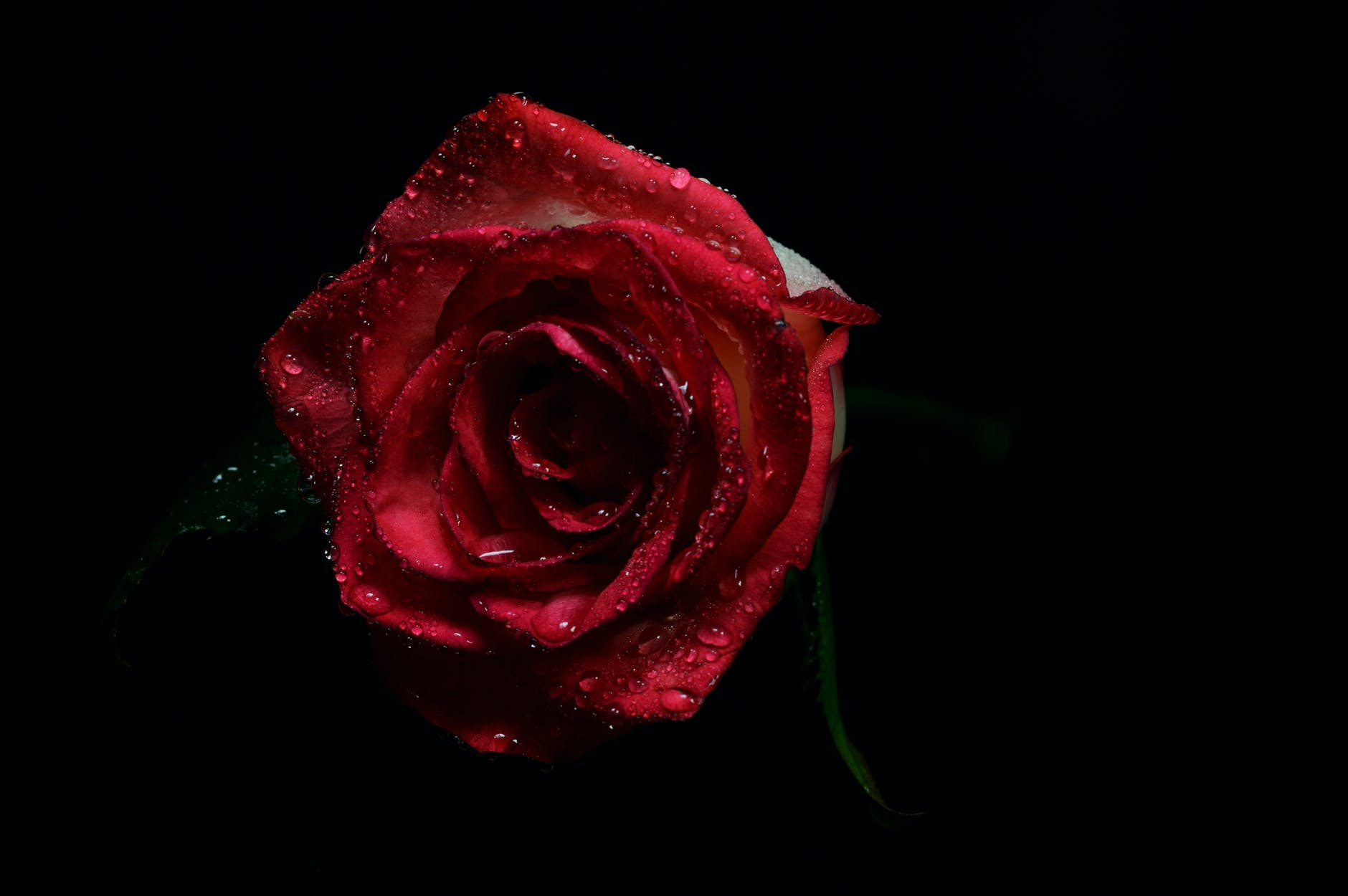 gambar bunga mawar hitam merah