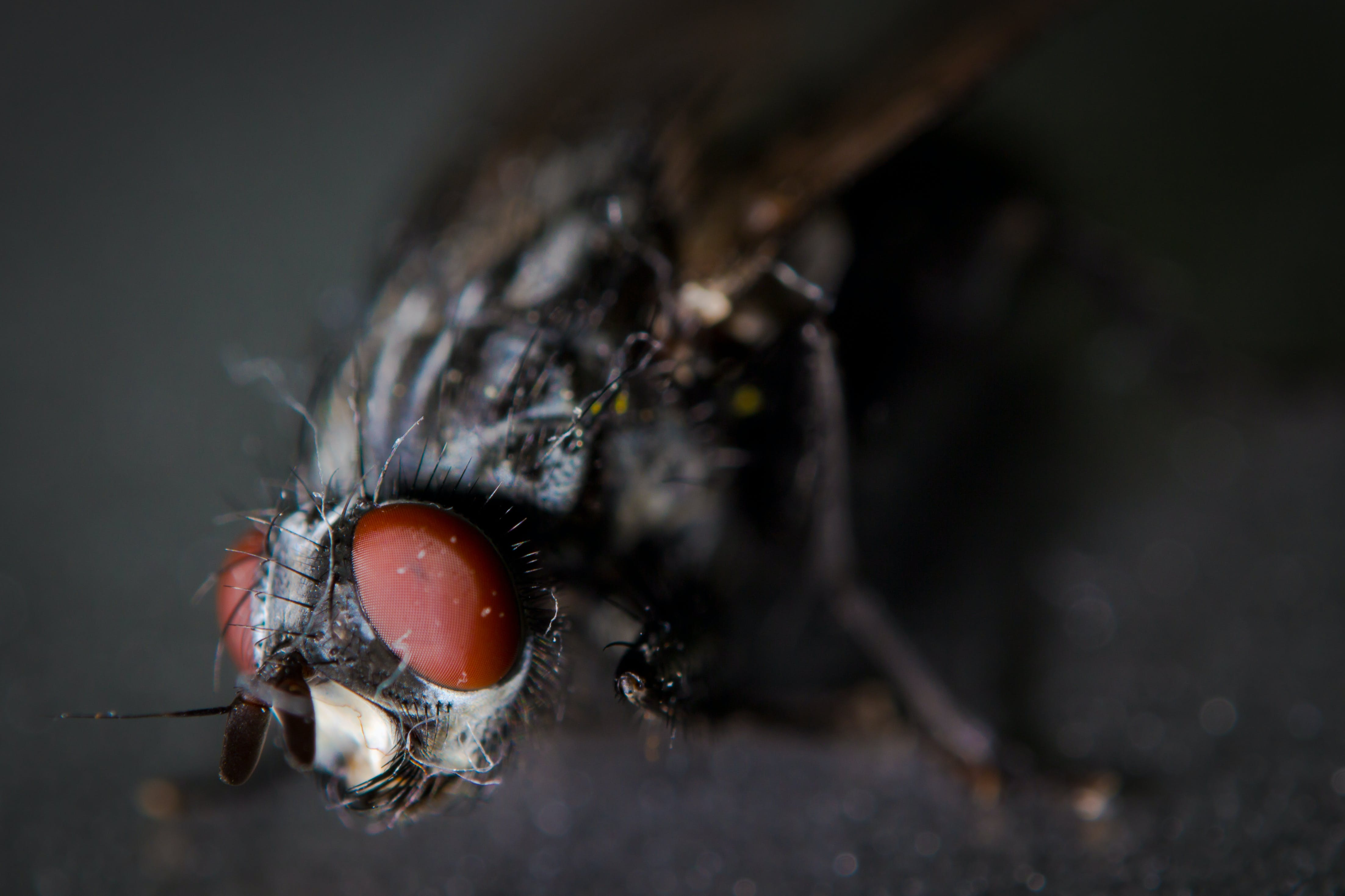 Micro Photography of Black Fly