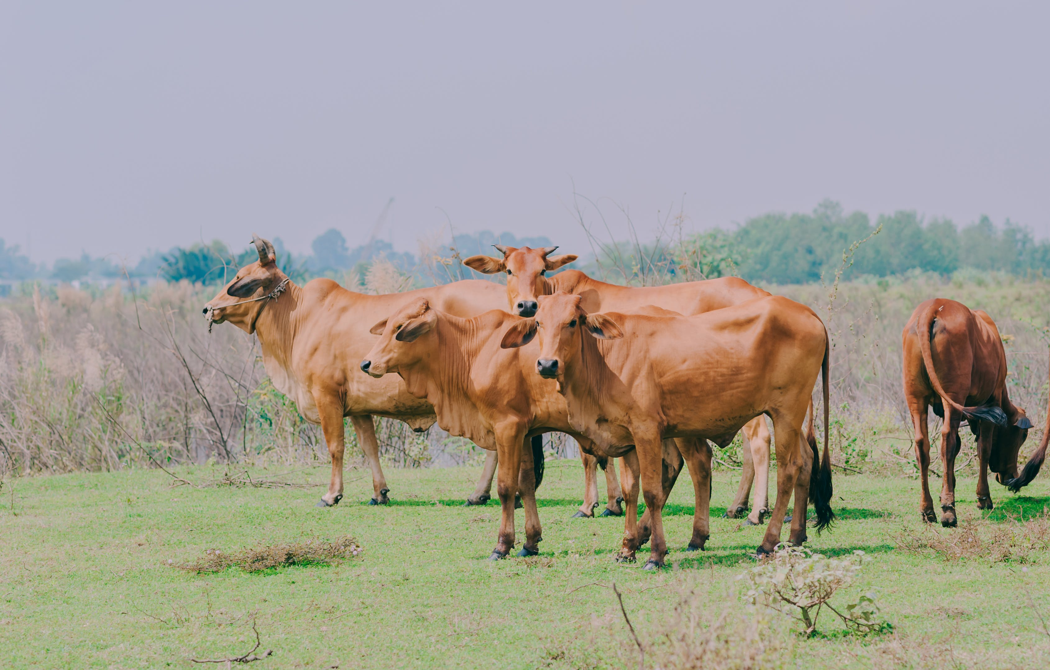 Brown Cattle On Green Grass