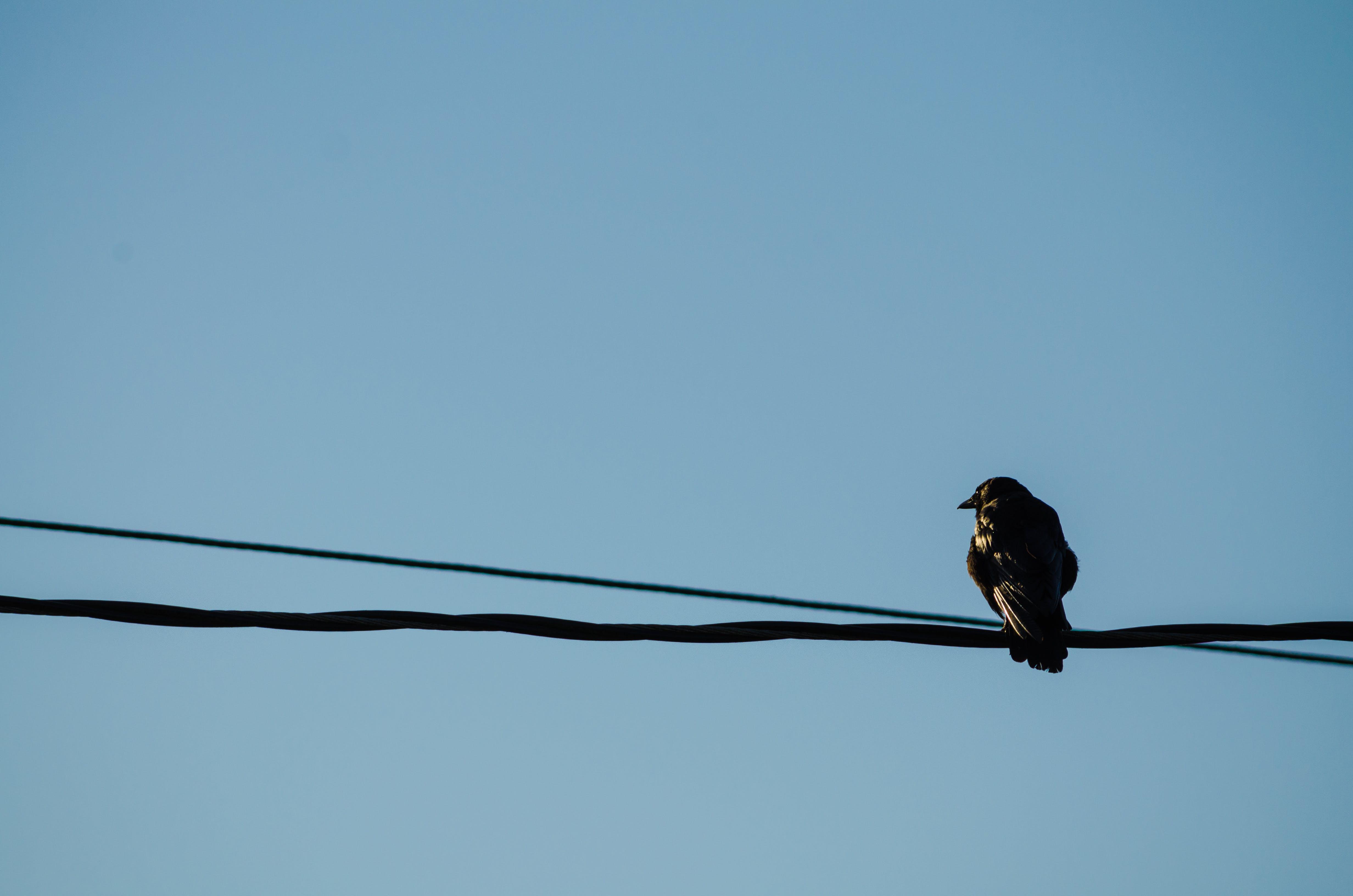 Free stock photo of crow, power lines, raven