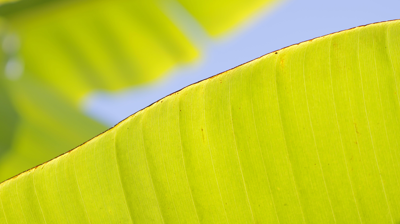 alan derinliği, doğa, makro, muz yaprağı içeren Ücretsiz stok fotoğraf