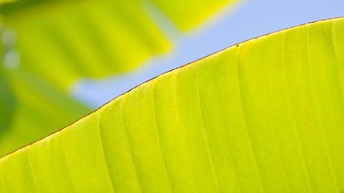 Fotos de stock gratuitas de hoja de banano, macro, naturaleza, profundidad de campo