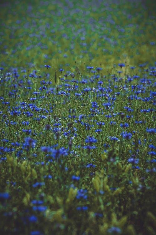 Lavender Plant Field