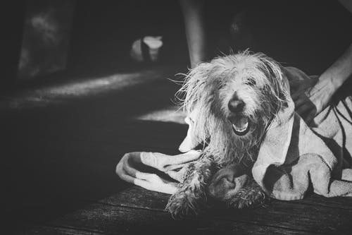 Grayscale Photography of Dog Yawning