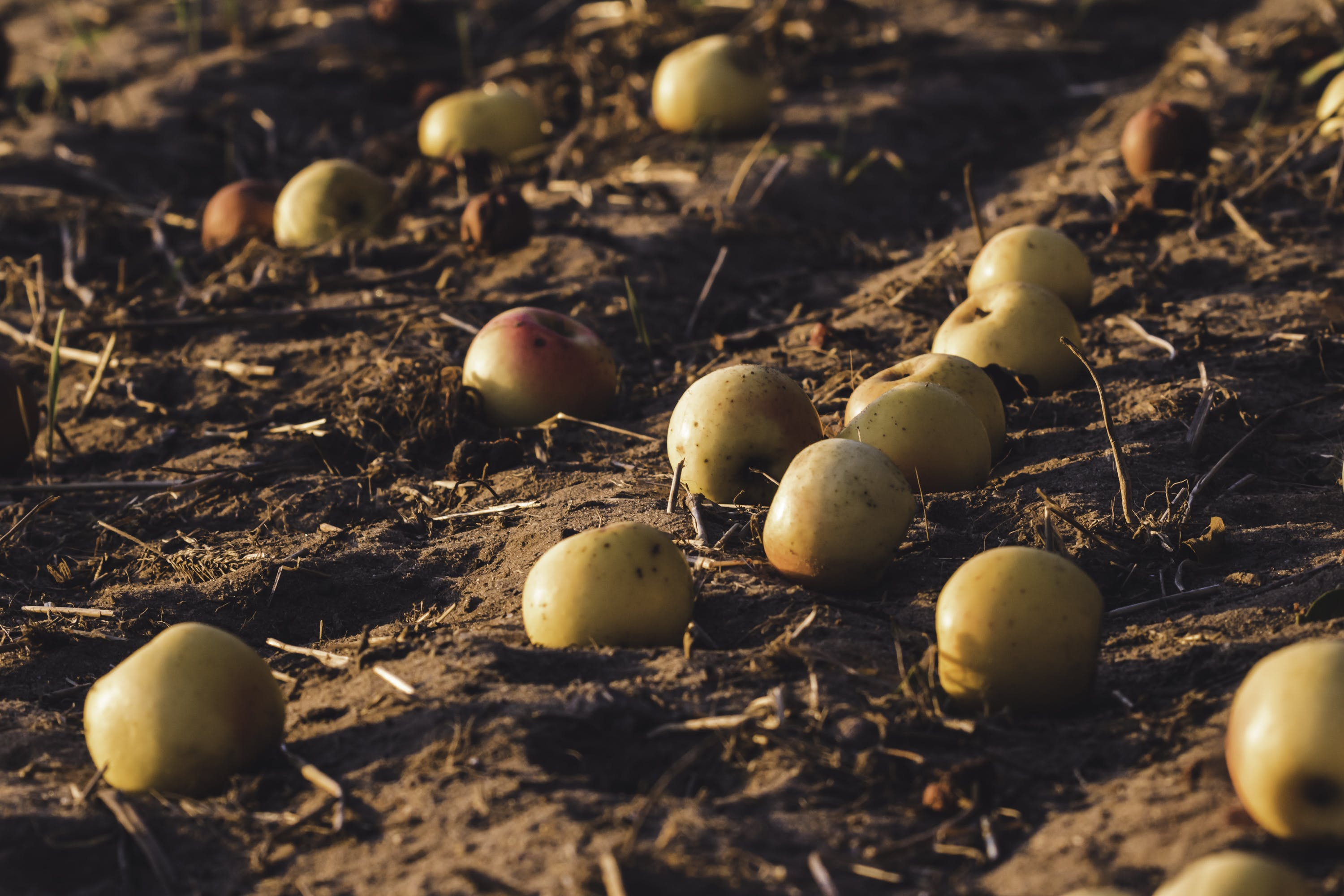 Yellow Apples on Ground