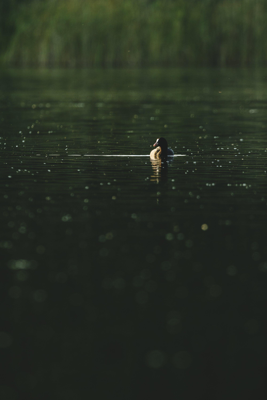 Black Duck in Body of Water
