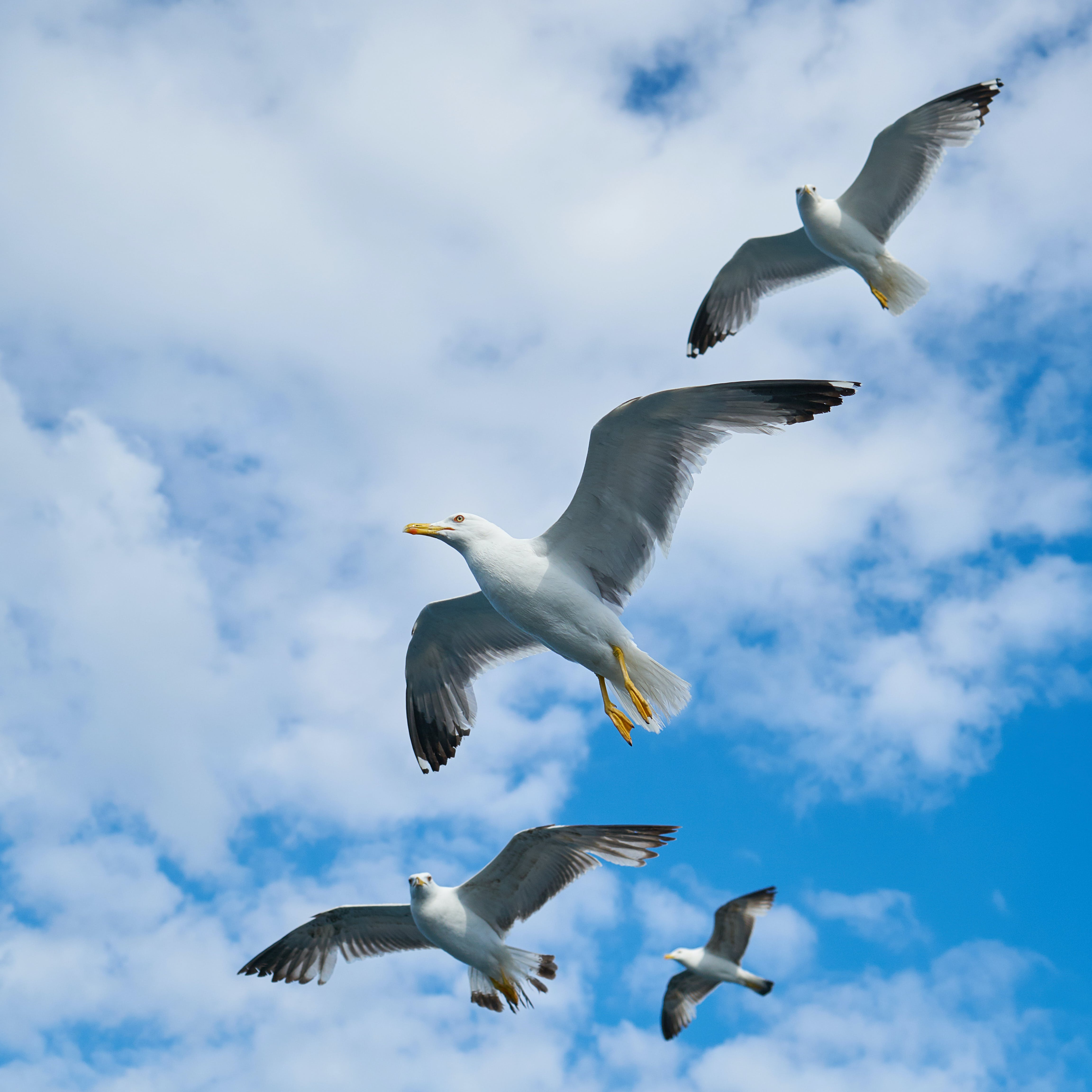 Four Flying Seagulls