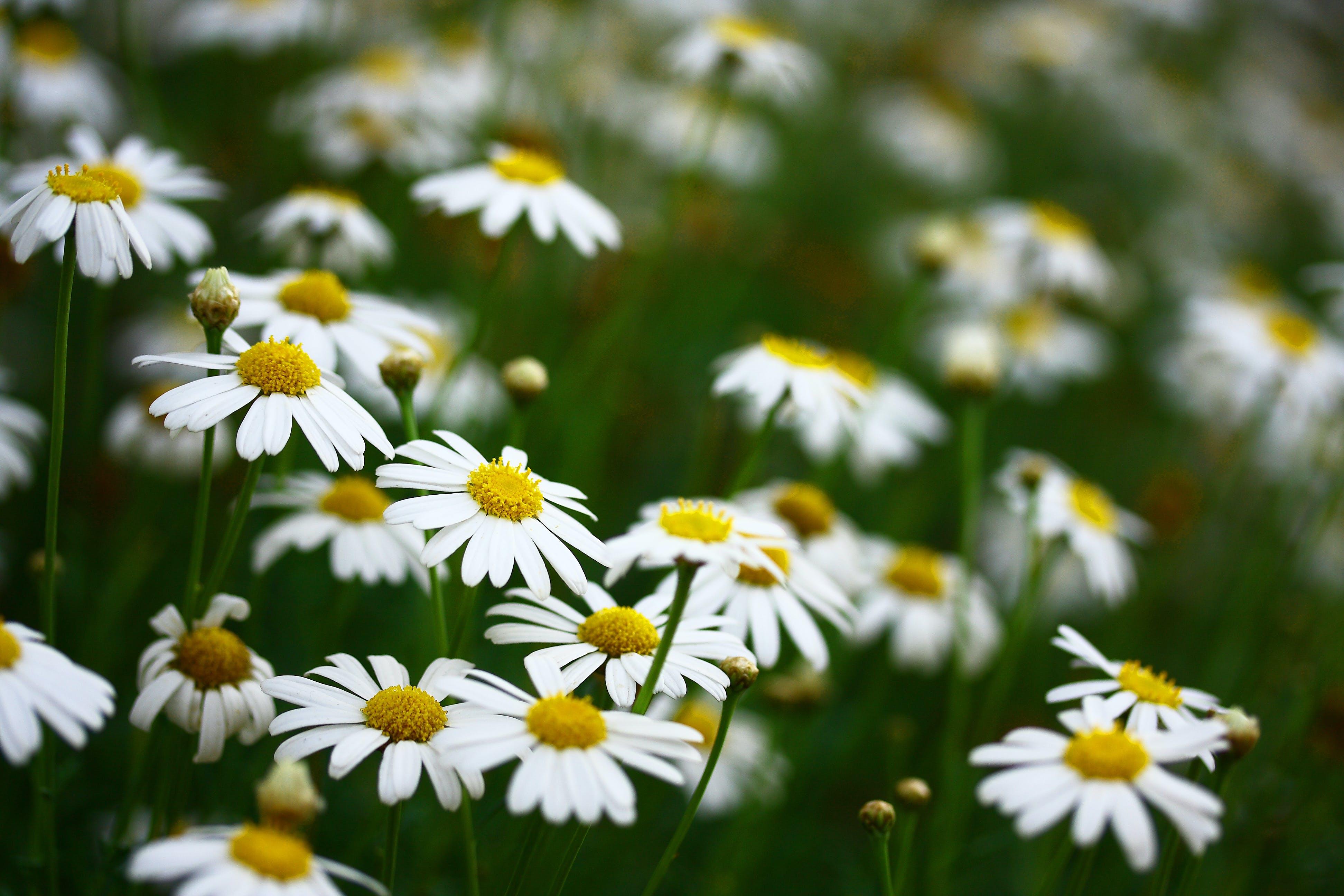 Close-Up Photo of Daisies