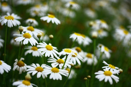 Close-Up Photo of Daisies