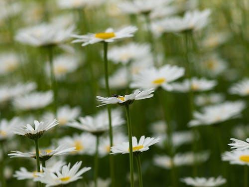 คลังภาพถ่ายฟรี ของ ขาว, ด้วง, ดอกเดซี, ดอกเดซี่สีขาว