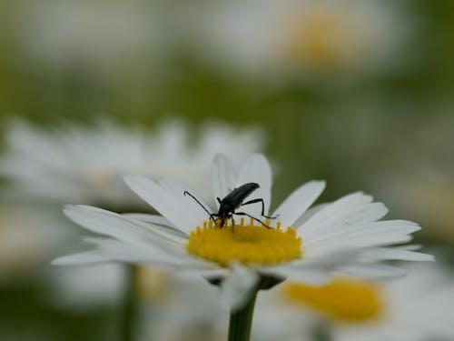 คลังภาพถ่ายฟรี ของ กลีบดอก, การถ่ายภาพมาโคร, ขาว, ด้วง