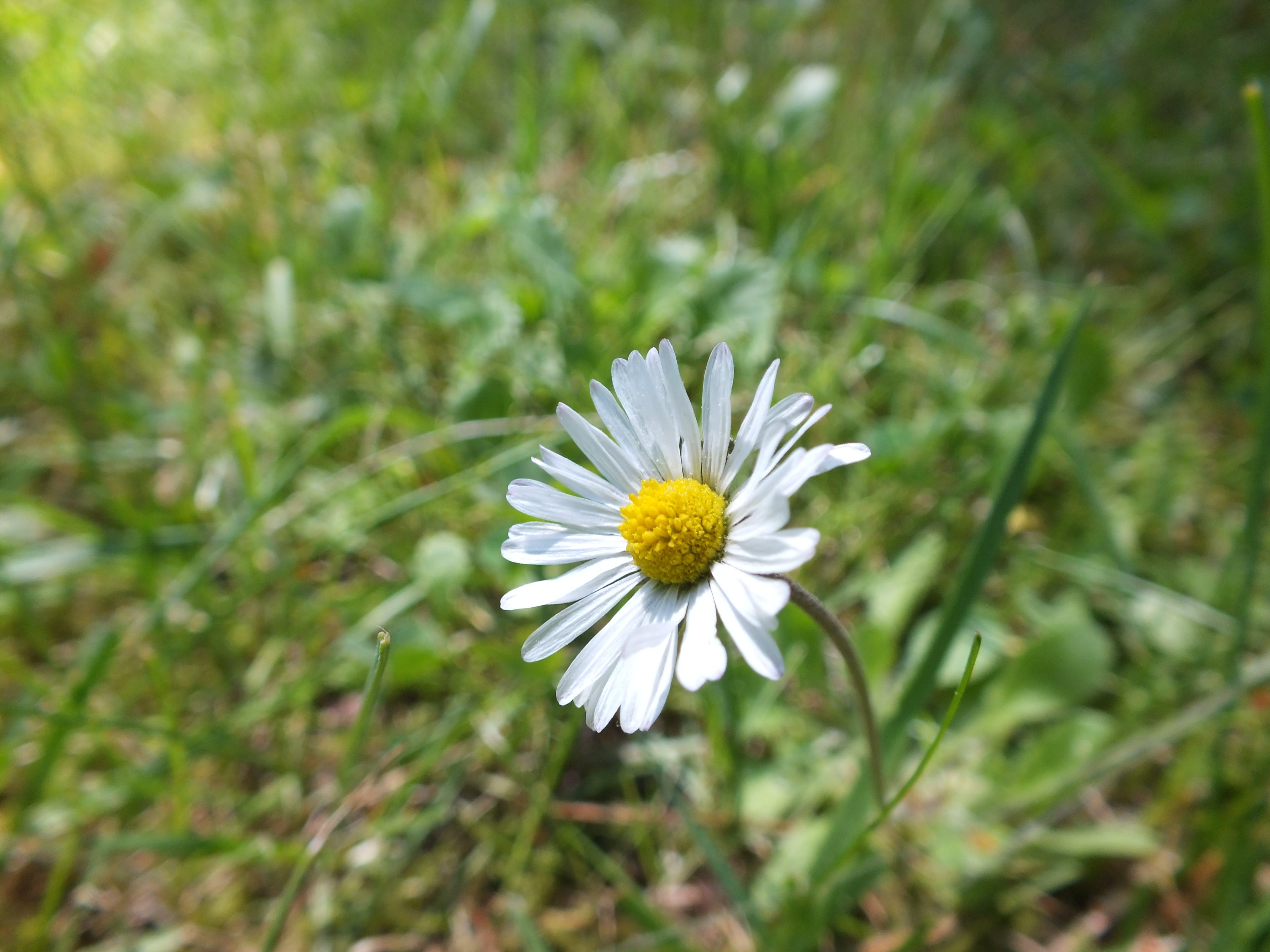 Free stock photo of daisy, flower, nature