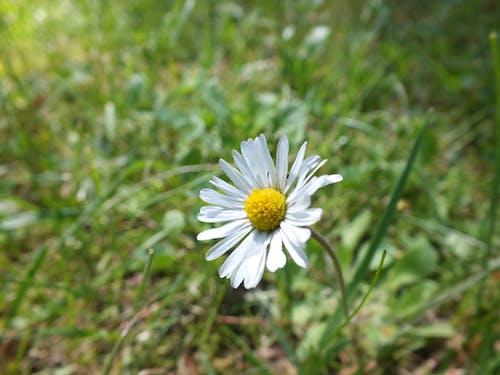 Gratis lagerfoto af blomst, marguerit, natur