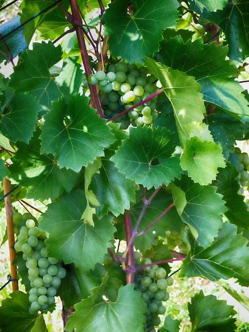 葡萄藤, 葡萄酒 的 免費圖庫相片