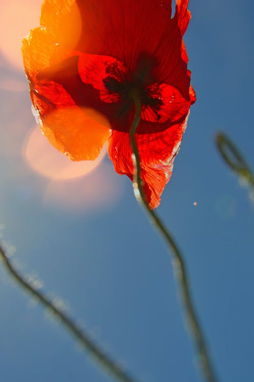 Low Angle Photography of Red Poppy Flower