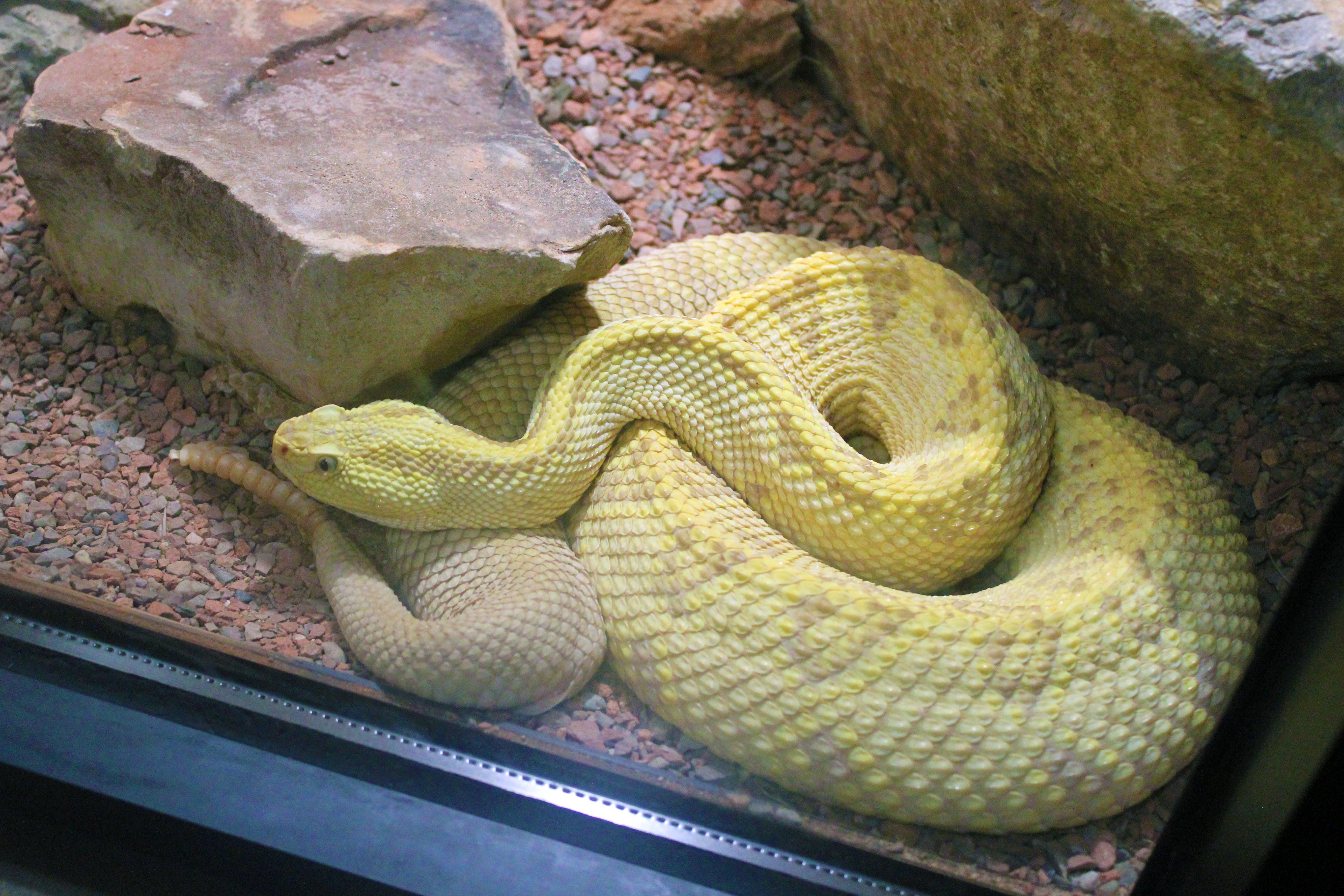 Free stock photo of yellow snake