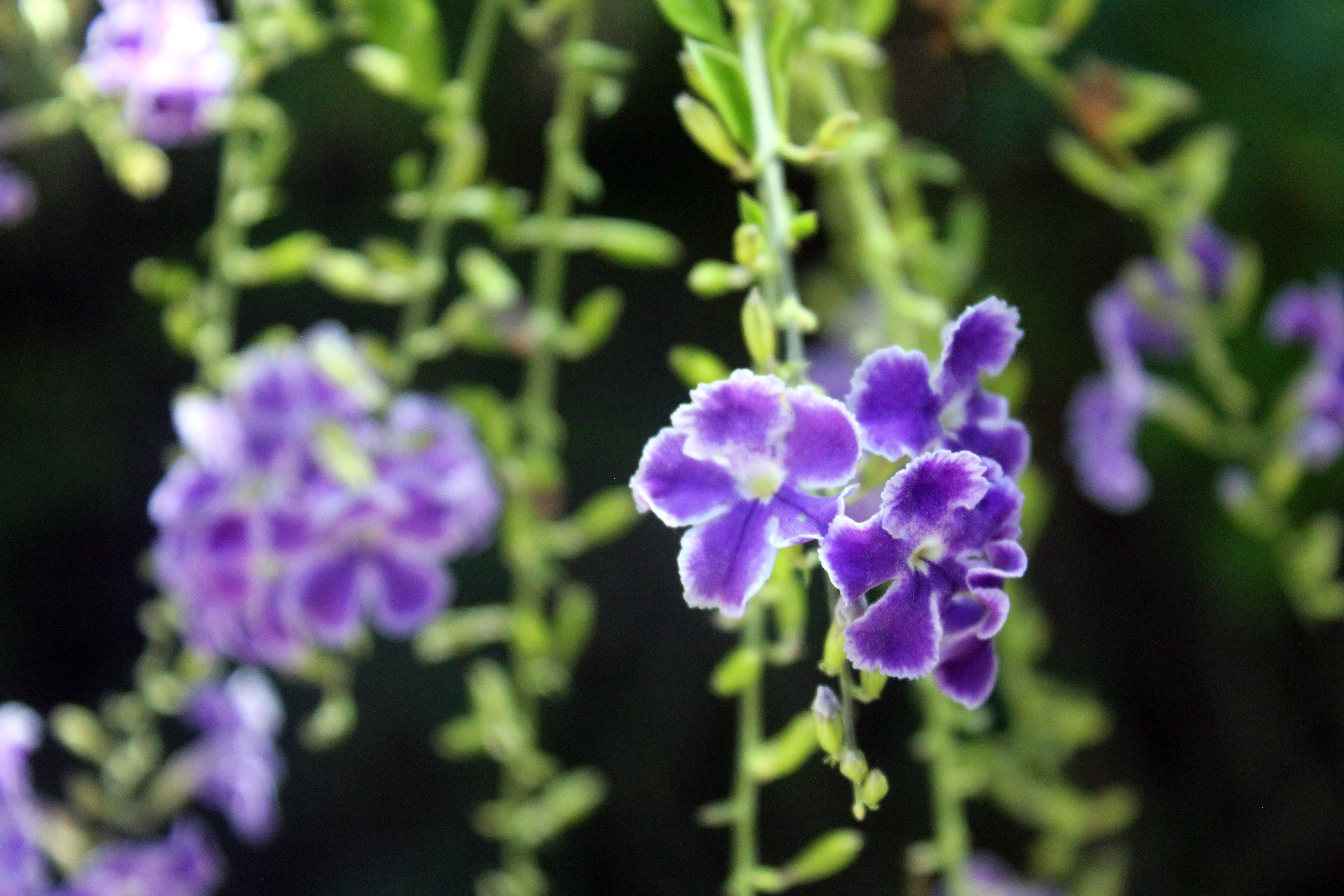 Free stock photo of purple flower