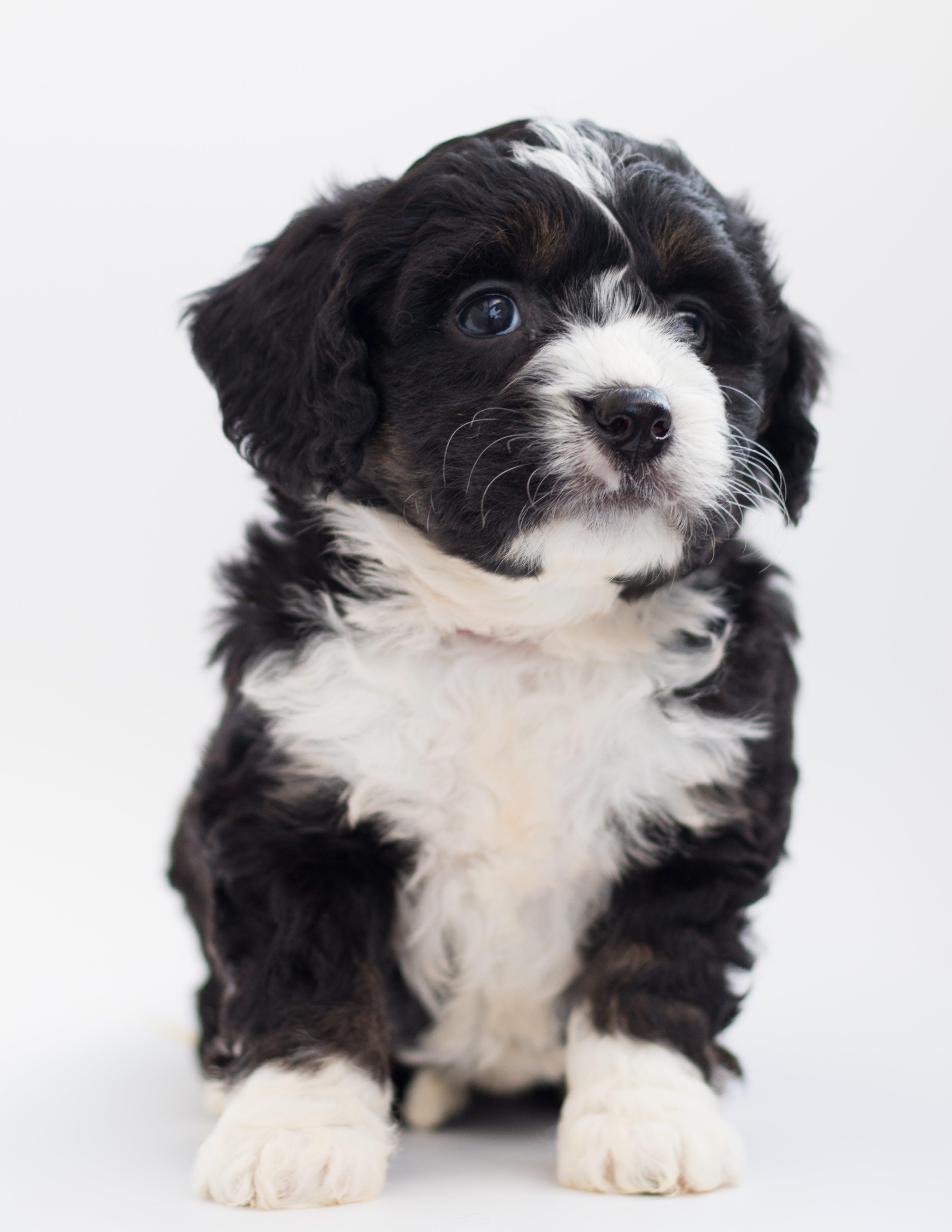 White and Black Maltese Puppy