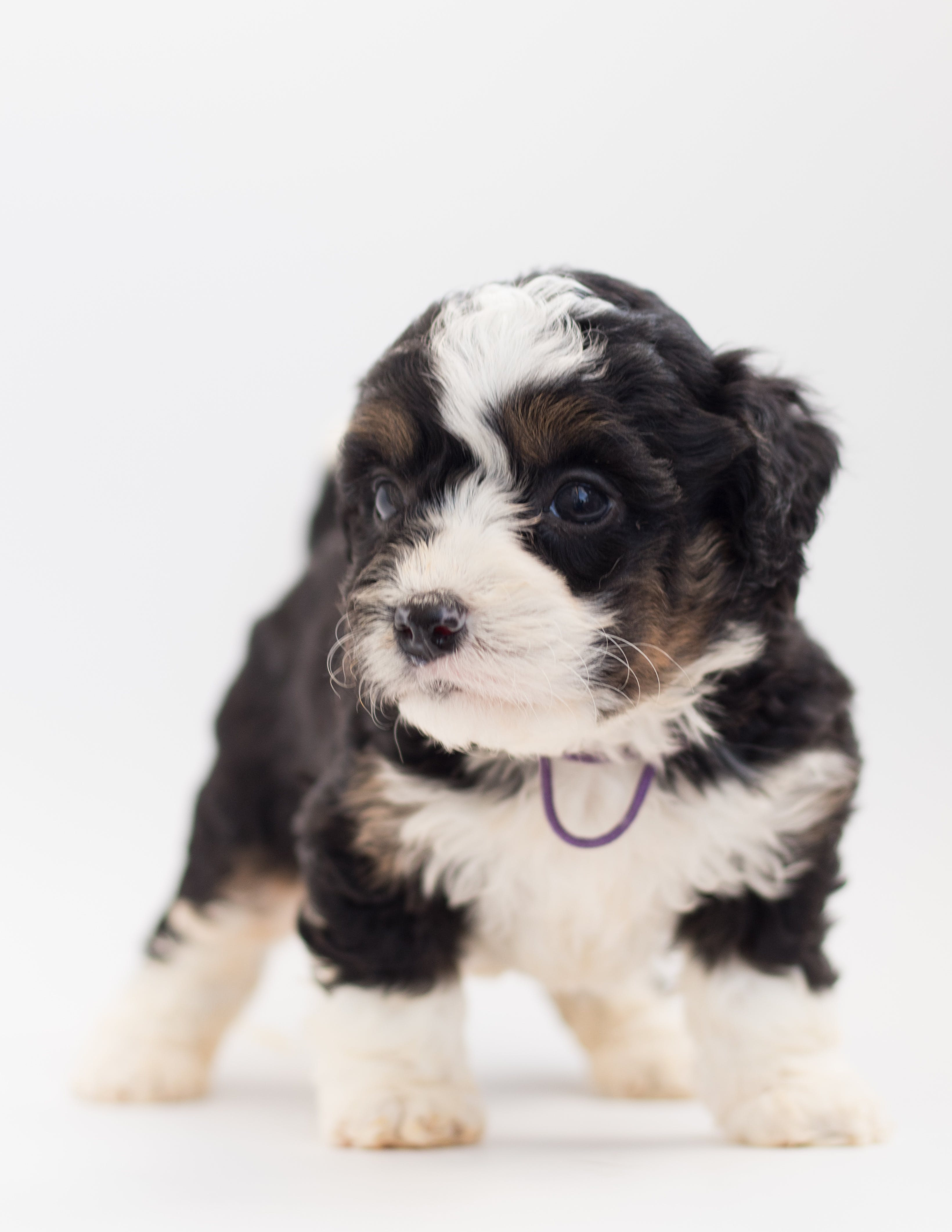 Kostenloses Stock Foto zu bernedoodle, berner sennenhund, bezaubernd, gucken
