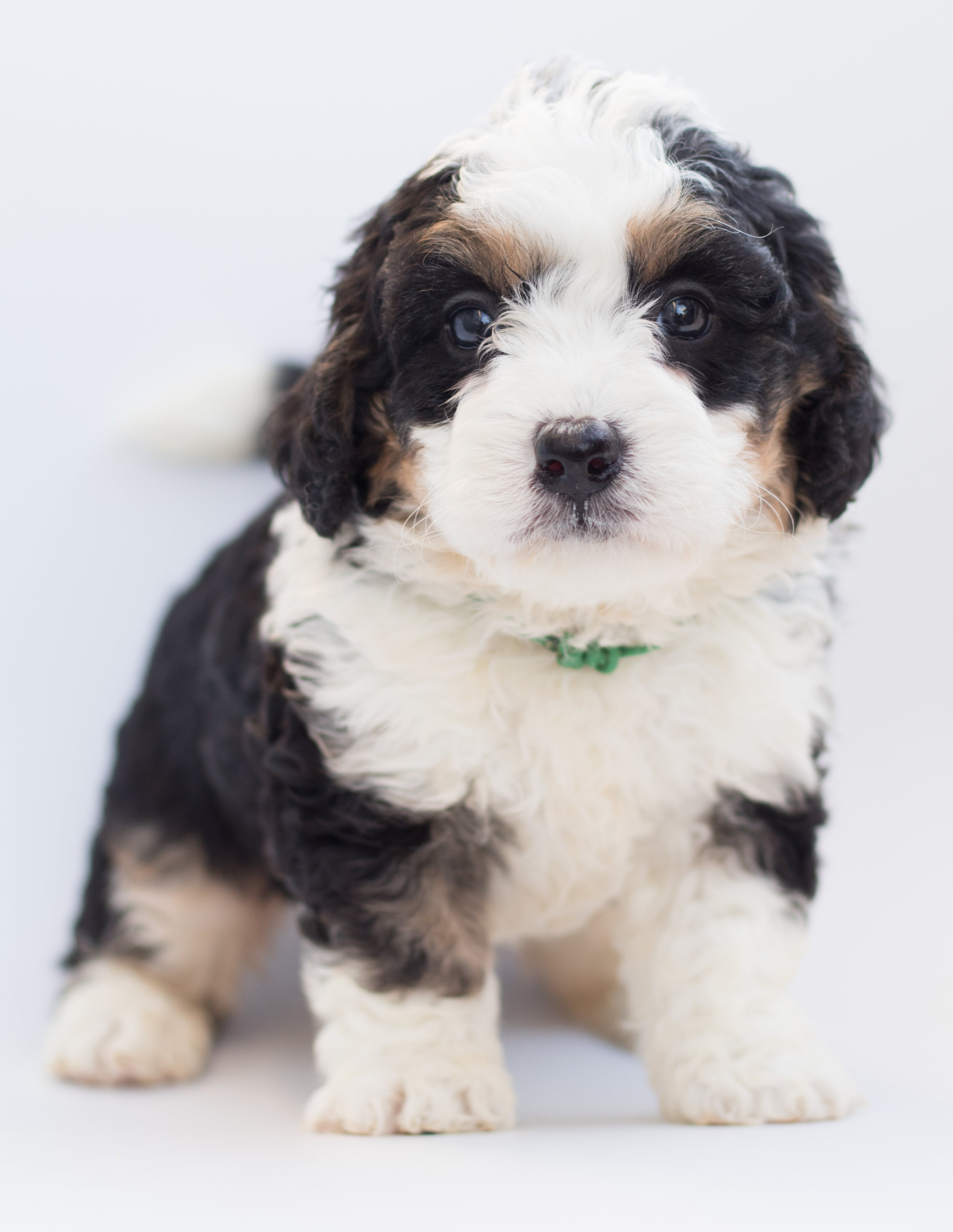 White and Black Puppy
