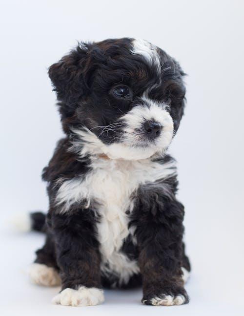 Základová fotografie zdarma na téma bernedoodle, bernský salašnický pes, černobílá, čistokrevný