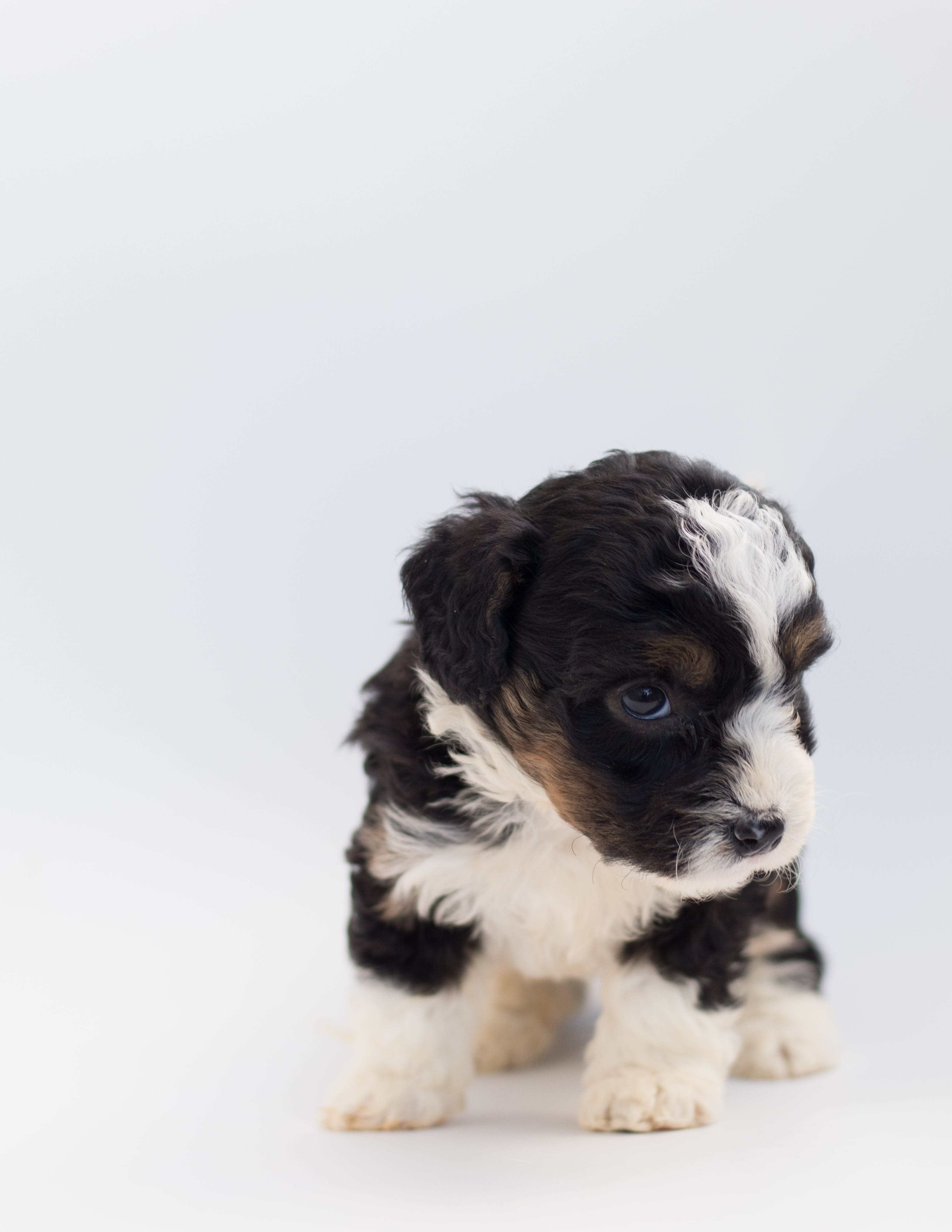 Short-coated Black and White Puppy
