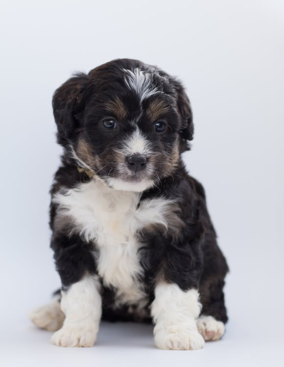 Close-Up Photo of Furry Puppy