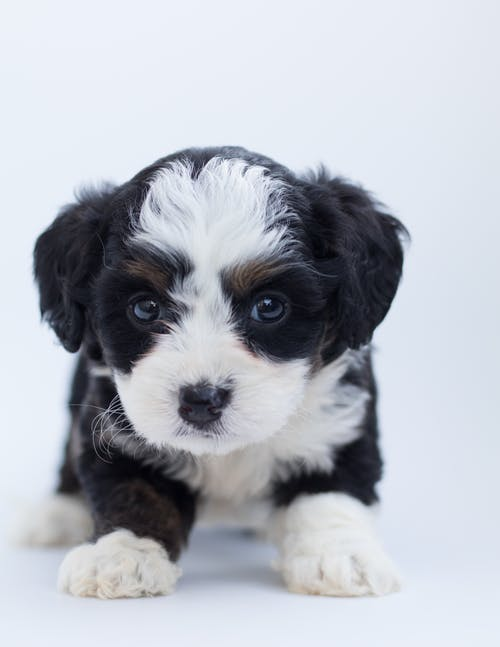 Black and White Maltese Puppy - family dog