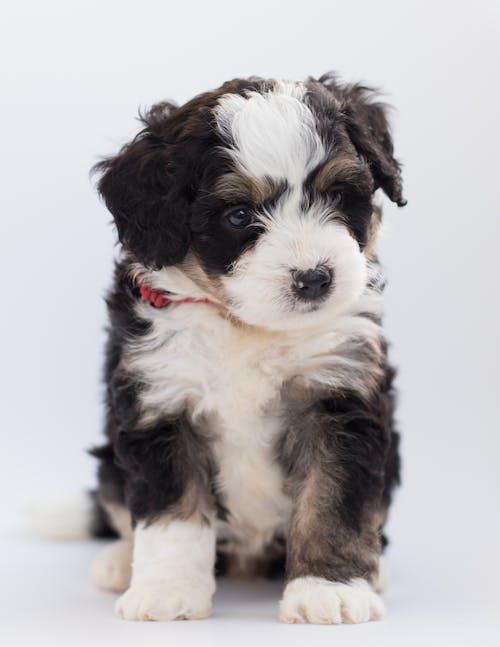 Základová fotografie zdarma na téma bernedoodle, bernský salašnický pes, bílé pozadí, čistokrevný