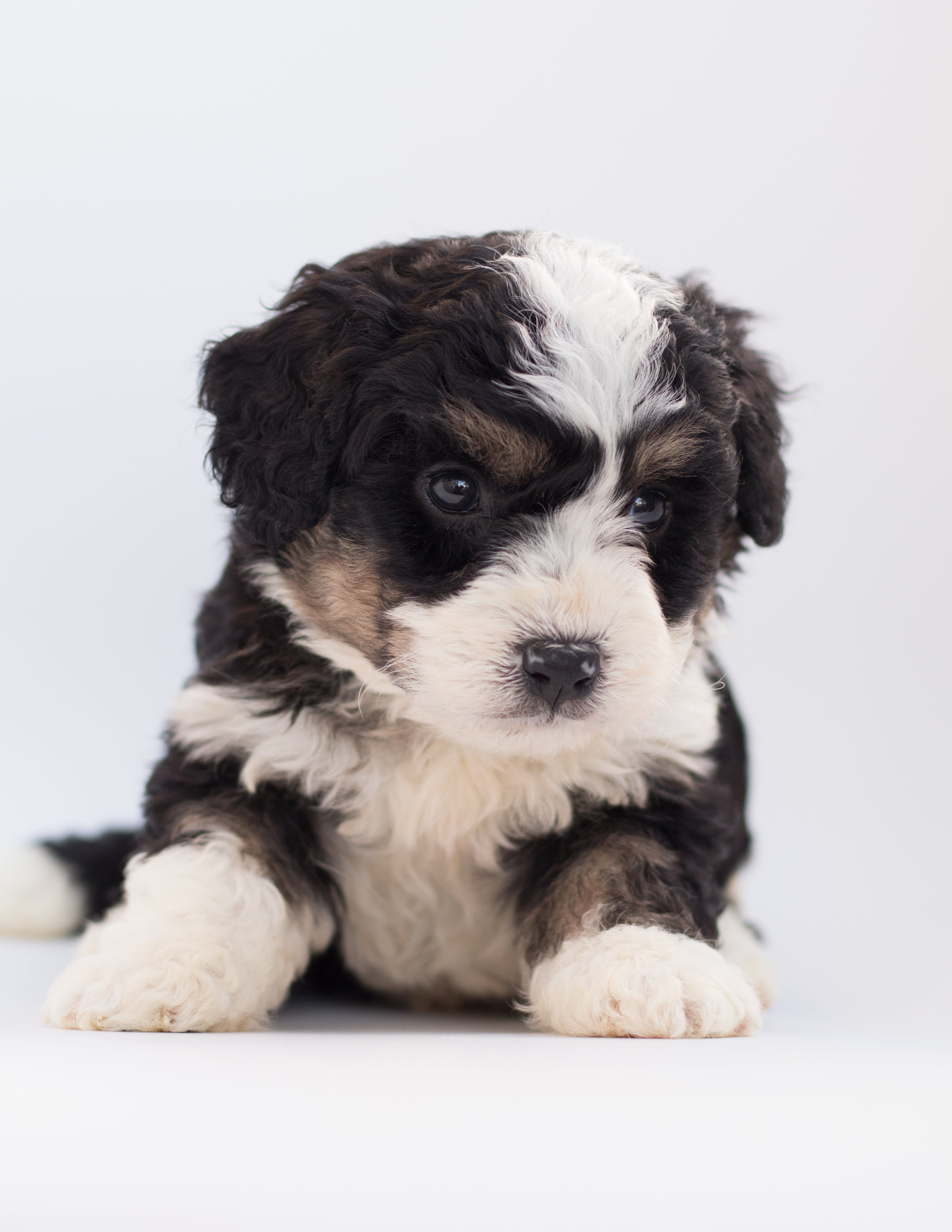 Black and White Poodle Puppy