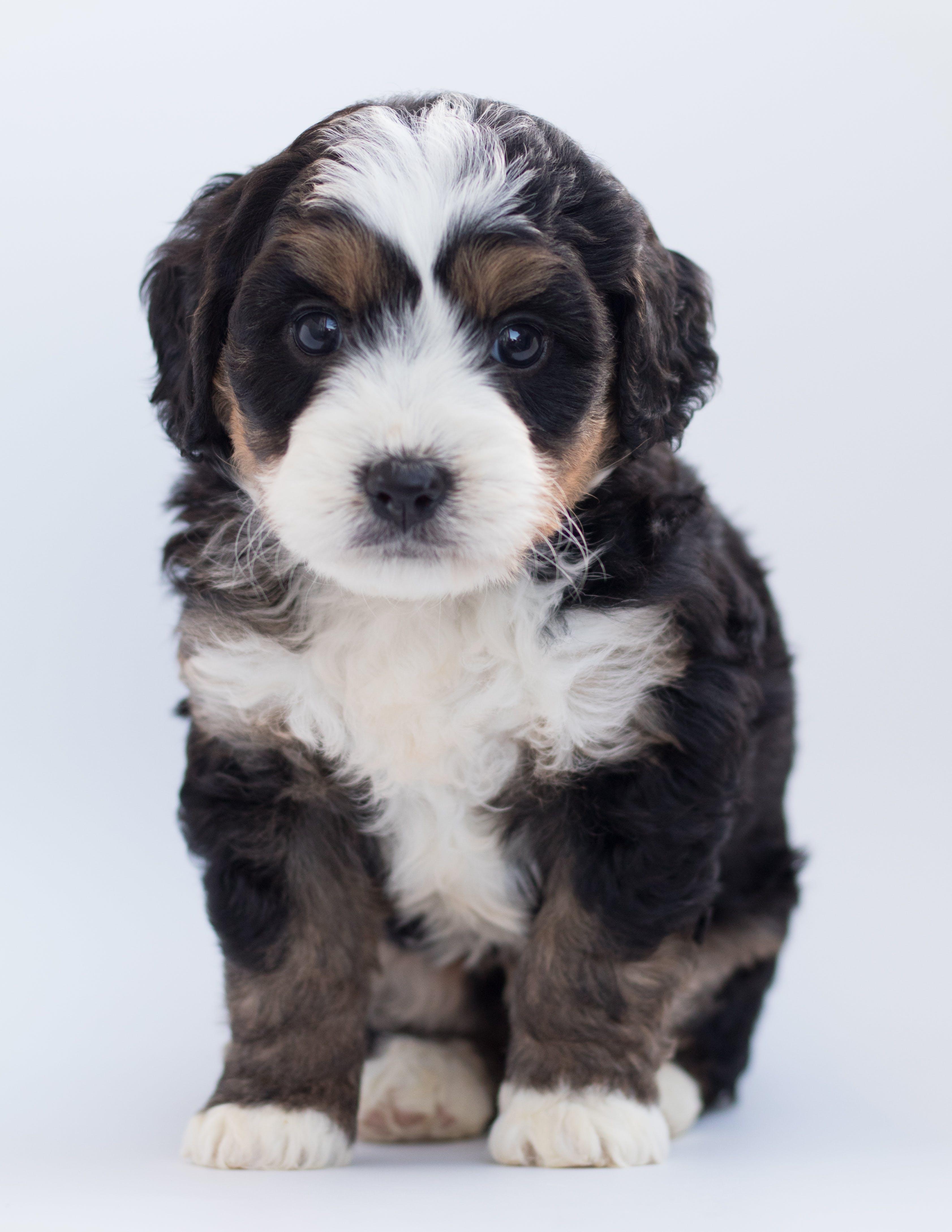 Tricolor Maltese Puppy