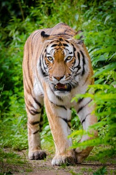 tiger beside green plants standing on brown land during daytime